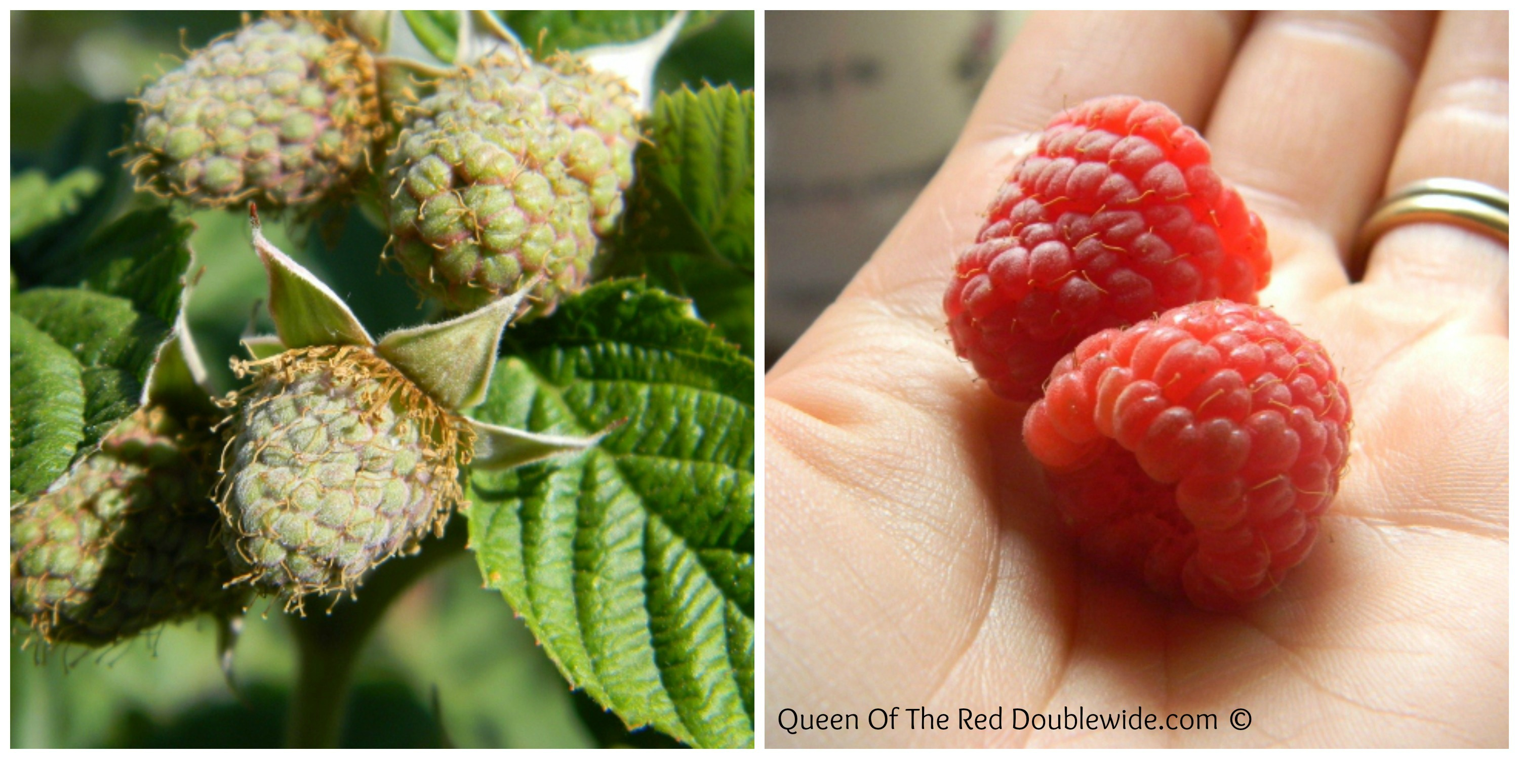 Raspberry Collage