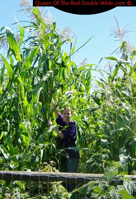 Some of our corn grew CRAZY tall. A few of them are over 12 feet tall and the ears are so high I'm going to need a ladder to harvest them!