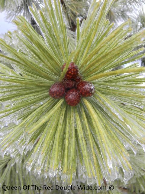 pine tree ice