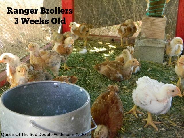 Ranger Broilers 3 weeks