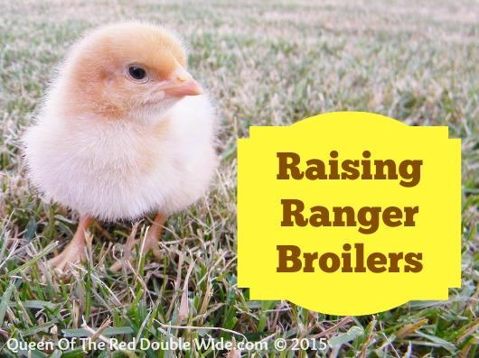 raising ranger broilers