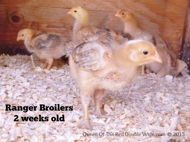 ranger broilers 2 weeks