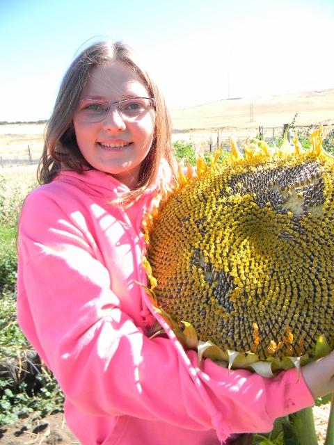 Harvesting Sun Flowers