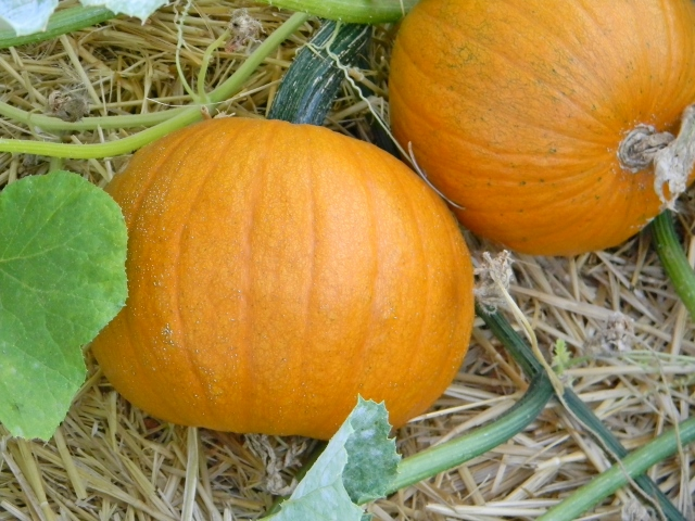 Sugar pumpkins growing in the garden