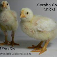 Raising Cornish Cross Chickens – Week 2
