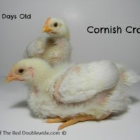 Raising Cornish Cross Chickens – Week 3