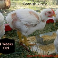 Raising Cornish Cross Chickens – Week 4