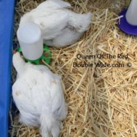 Raising Cornish Cross Chickens – Week 7